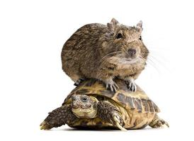 criceto Degu cavalcare tartaruga foto