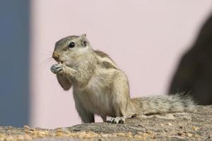 scoiattolo sul muro foto