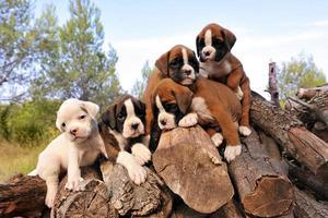 boxer cuccioli foto