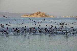 fenicotteri migratori foto