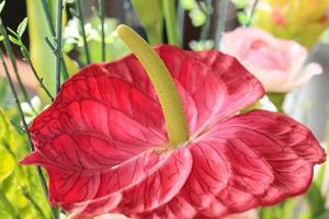 vicino fiore di fenicottero, fiore ragazzo foto