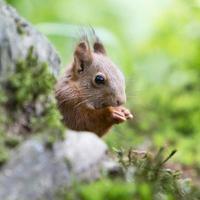 scoiattolo (sciurus vulgaris) - Paesi Bassi foto