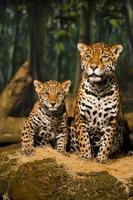 famiglia giaguaro foto
