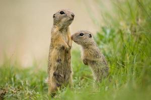 madre europea dello scoiattolo a terra con il giovane