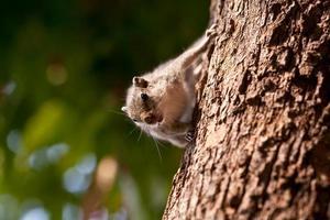 scoiattolo indiano foto
