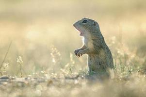 scoiattolo a terra europeo con la bocca aperta foto