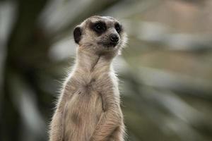 il meerkat