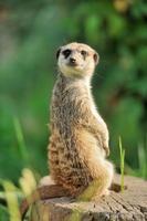 meerkat in piedi e guardando attento