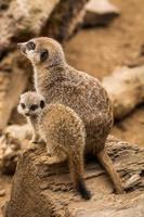 mamma e bambino meerkat sedevano uno accanto all'altro.