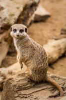 adorabile meerkat sorridendo alla telecamera.