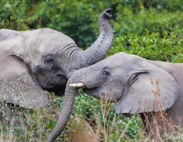 i giovani elefanti giocano