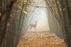 daino nella foresta nebbiosa