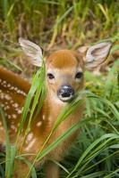 baby cervo foto