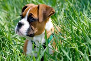 cucciolo di boxer foto