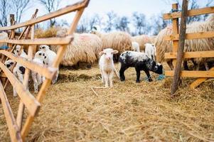 curioso agnellino che fissa alla macchina fotografica e che mangia erba foto