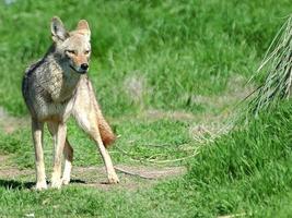 coyote del deserto 5 foto