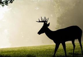 Dollaro dei cervi dalla coda bianca nella mattina nebbiosa foto