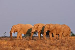 elefanti al tramonto foto