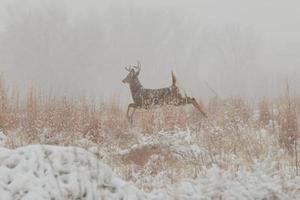in esecuzione whitetail buck nella neve foto