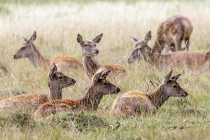 cervo rosso foto