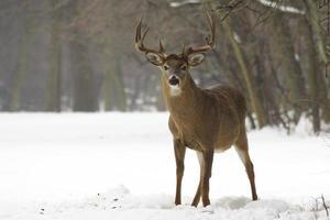 cervo dalla coda bianca invernale foto