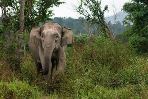 elefante asiatico selvaggio