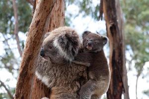Koala con bambino - immagine di riserva foto