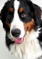 cane da montagna bernese foto