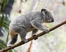 koala balance foto