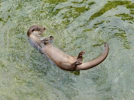 lontra europea (lutra lutra), chiamata anche lontra eurasiatica foto