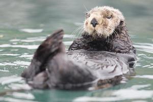 lontra di mare insenatura soleggiata