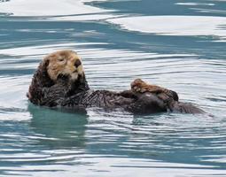 lontra di mare d'Alasca foto