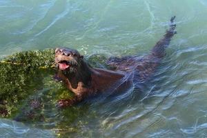 lontra di fiume (lontra canadensis) foto