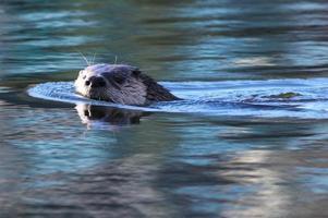 lontra di fiume che nuota foto