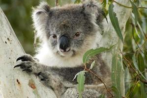 koala sull'isola di canguro, in australia foto