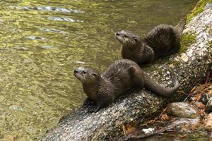 lontre di fiume crogiolarsi su un tronco foto