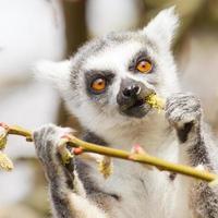 Lemure catta che mangiano