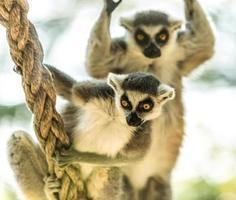lemure catta foto