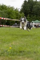 husky in azione foto