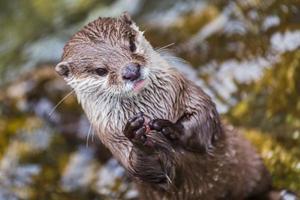 piccola lontra che applaude con le sue zampe foto