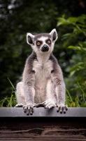 Lemure dalla coda ad anelli seduto su un tetto foto