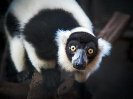 lemure increspate in bianco e nero foto