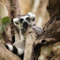 Lemure dalla coda ad anelli che dormono foto
