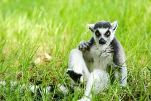 Lemure catta che si siedono sull'erba foto