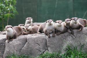 famiglia lontra foto