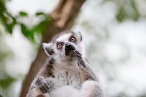 simpatico lemure dalla coda ad anelli foto
