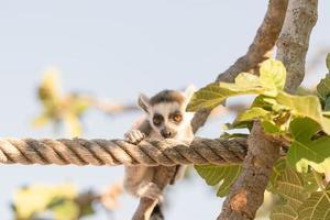simpatico ritratto di un lemure su un albero. foto