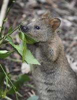 quokka che mangia foglie foto