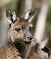 faccia di wallaby foto