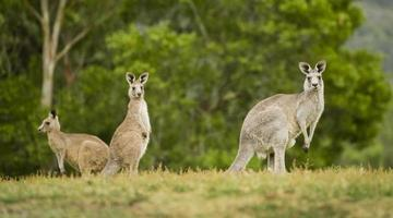 canguri selvatici nell'entroterra foto